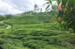 photos-de-cameron-highlands (2)