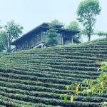 champs-de-thé